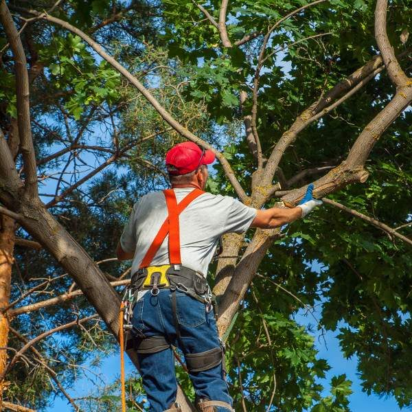 Tree Pruning for aesthetics